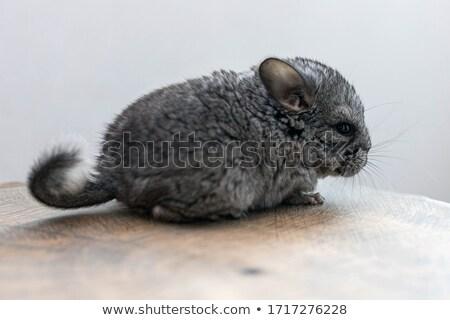 Gris Nice chinchilla blanche jouet animaux Photo stock © taden