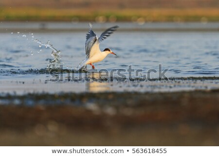 Caspian Tern in a dive on impact Stock photo © davemontreuil