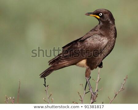 Africano dois sessão postar África do Sul pássaro Foto stock © dirkr