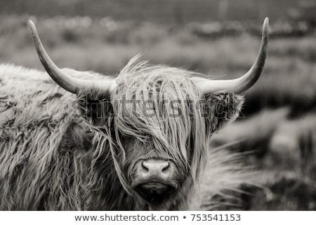 Foto stock: Vaca · prado · outono · animal · touro · agricultura