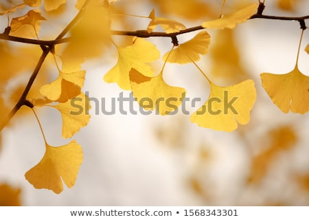 Detail of autumnal Gingko tree leaf Stock photo © AlessandroZocc