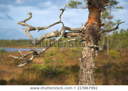 Dry stunted trees at a bog Stock photo © Mps197
