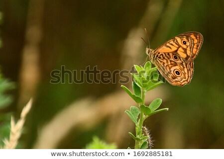 Doğu ada kelebek böcek zemin turizm Stok fotoğraf © dirkr