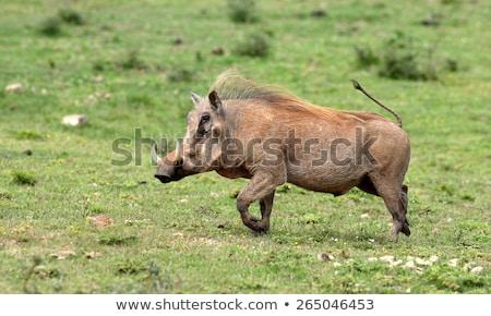 Eszik park Dél-Afrika állatok disznó fotózás Stock fotó © simoneeman