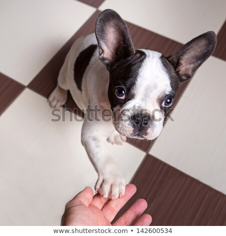 Czarny psa dać strony studio piękna Zdjęcia stock © vauvau