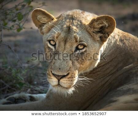 Oroszlán kamera park Dél-Afrika természet állat Stock fotó © simoneeman