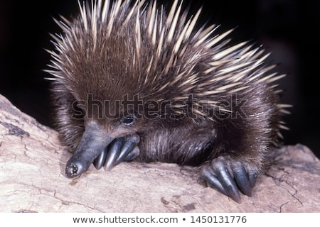 queensland · Austrália · natureza · viajar · retrato · animal - foto stock © dirkr