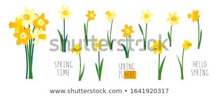 Daffodil Flowers Stock photo © naffarts