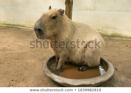 capybara lying in the grass stock photo © manfredxy