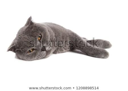 sleepy scotish fold lying on one side stock photo © feedough