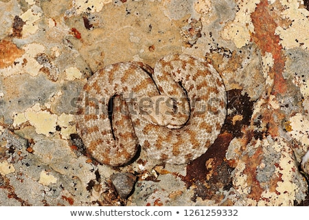 Macrovipera lebetina basking on a rock in natural environment Stock photo © taviphoto