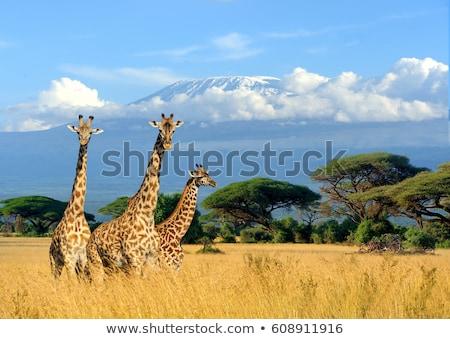 Drie giraffe natuur illustratie bos kunst Stockfoto © colematt