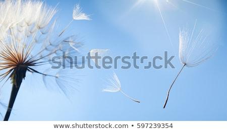 Dandelion · nasion · wiatr · nasion · wiosną - zdjęcia stock © bdspn