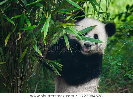 A panda in bamboo forest Stock photo © colematt