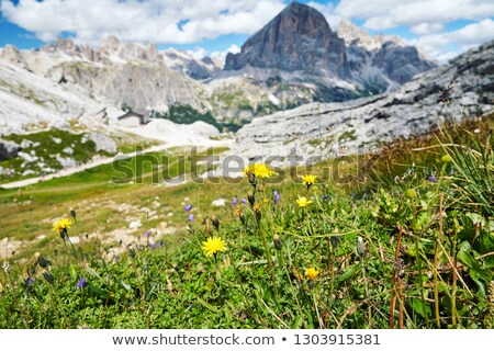 Dandelions growing in Giau Pass stock photo © frimufilms
