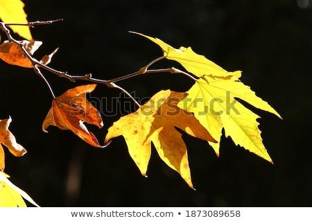 美しい · 秋 · メイプル · 葉 · 市 - ストックフォト © vapi