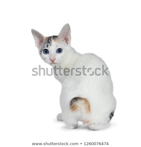 Cute zilver korthaar japans kat kitten Stockfoto © CatchyImages