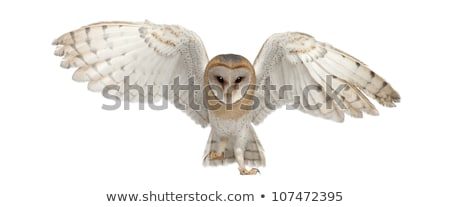 Barn owl or Tyto alba isolated on white	 Stock photo © shawlinmohd