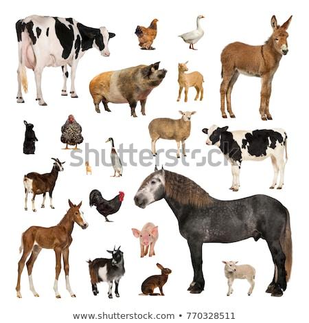 многие сельскохозяйственных животных белый иллюстрация фон искусства Сток-фото © bluering