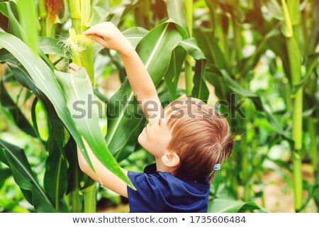 Farmer looking at sweetcorn in a field Stock photo © photography33
