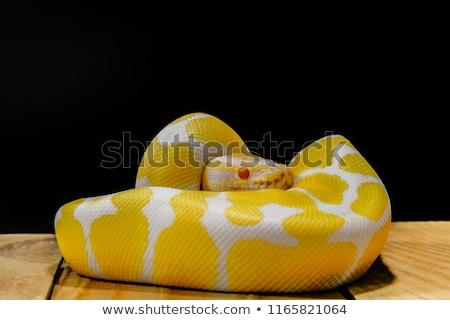 Balle python oeil peau tropicales Photo stock © Nneirda