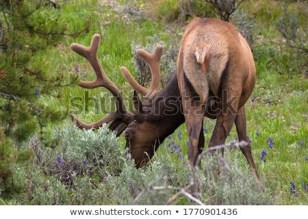 Large bull elk grazing in summer grass in Yellowstone Stock photo © CaptureLight