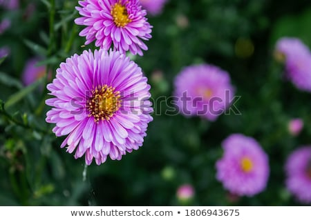 Aster Novi Belgii  Stock photo © LianeM