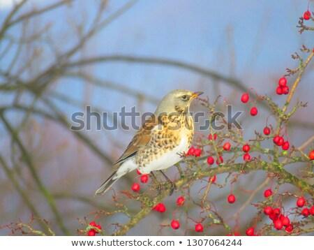 Ağaç kırmızı doğa kuş soğuk meyve Stok fotoğraf © chris2766