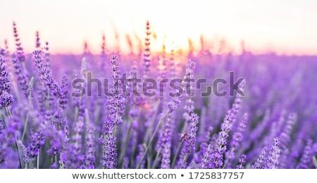 lavanta · çiçekler · Fransa · fransız · güney - stok fotoğraf © ivonnewierink