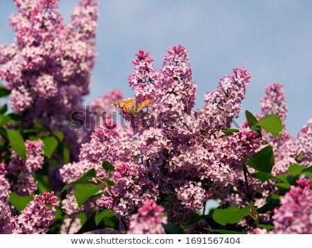 orgona · virágzó · szín · növény · fehér · ág - stock fotó © julietphotography
