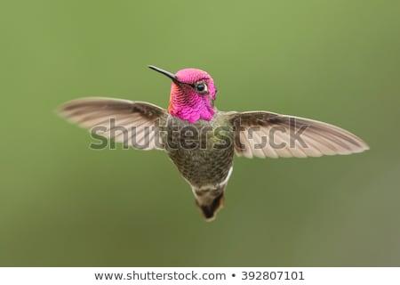 Anna's Hummingbird Stock photo © Backyard-Photography