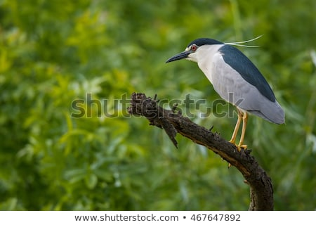 black crowned night heron stock photo © saddako2