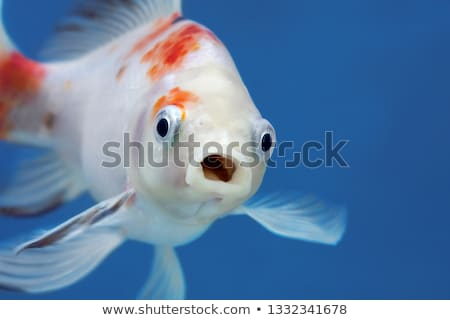Goldfish bol garçon animal close-up Photo stock © IS2