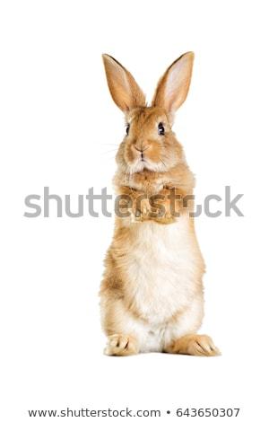 Beyaz tavşan Paskalya profil kürk sevimli Stok fotoğraf © IS2