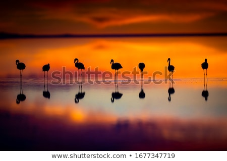 flamingo in the sunset Stock photo © djdarkflower
