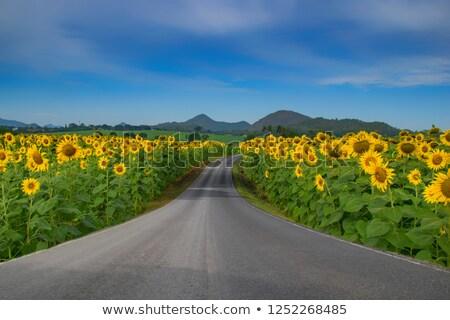 Piękna słonecznika charakter ilustracja wiosną projektu Zdjęcia stock © bluering