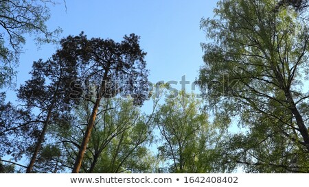 Stock photo: large mixed forest of pine and birch