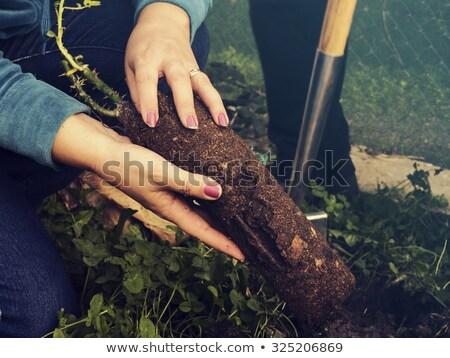 Kadın gül saksı bahçıvanlık Stok fotoğraf © dolgachov