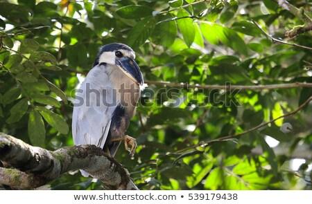 barcă · starc · Costa · Rica · copac · pădure · pasăre - imagine de stoc © Lopolo