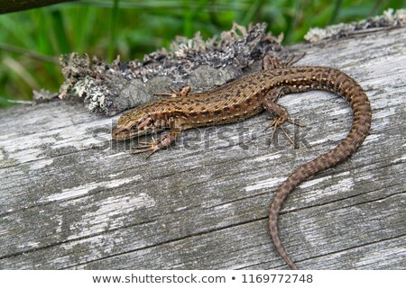closeup of colorful male sand lizard Stock photo © taviphoto