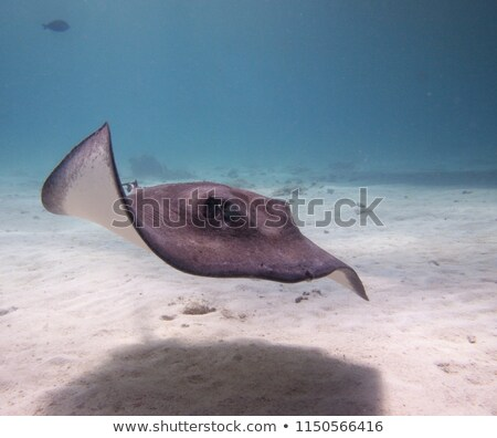 Stingrays at the sand bar Stock photo © jsnover