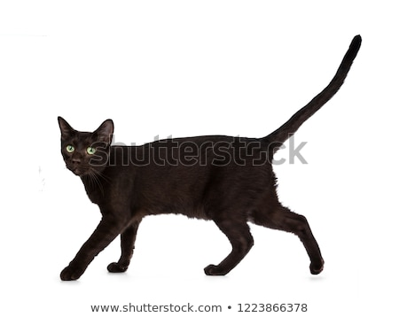 Handsome young adult Havana Brown cat Stock photo © CatchyImages