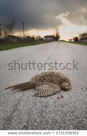 Halott madár aszfalt út női fekszik Stock fotó © simazoran