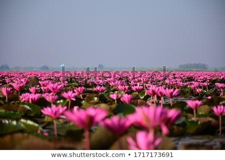 Lotus field Stock photo © bloodua