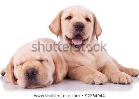 Uykulu siyah Labrador köpek yavrusu resim Stok fotoğraf © feedough
