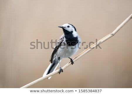 grama · pássaro · preto · branco - foto stock © dirkr