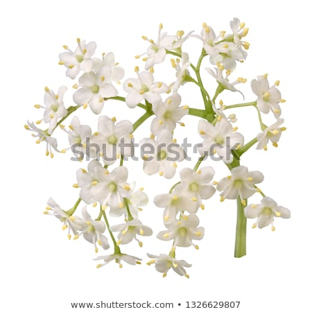 elderberry flowers stock photo © joker