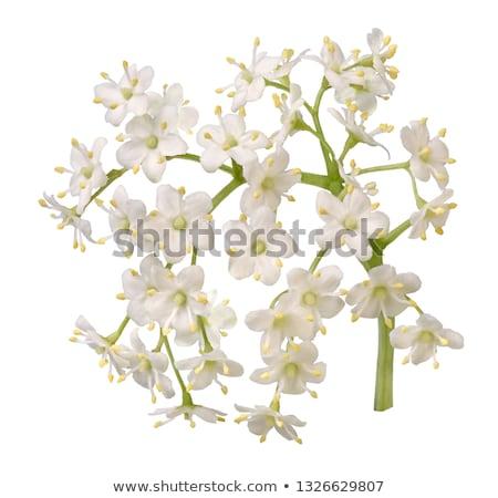 Stock photo: elderberry flowers