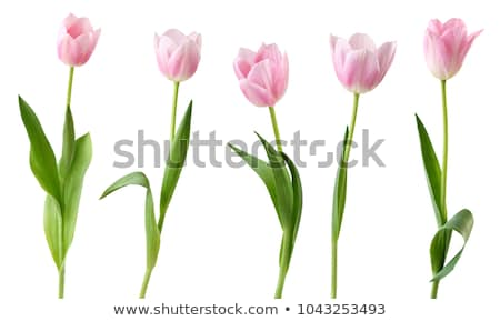 rosa · tulipanes · campo · cielo · azul · flores - foto stock © compuinfoto