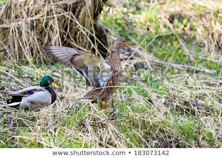 Pair Of Duck Near Small Creek Zdjęcia stock © Artush